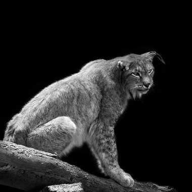 Vieux lynx II par lynx