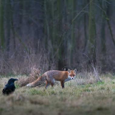 Le corbeau et le renard..... par jeromebouet