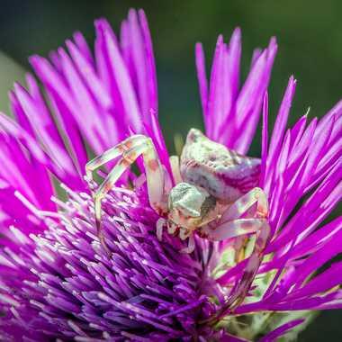 Purple Spider par FredoRoiDuVelo