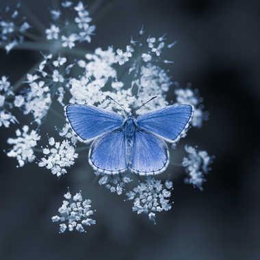 Argus bleu par popy