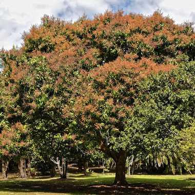 Floraison des manguiers par rmgelpi