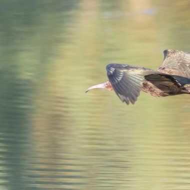 Ibis en vol par patrick69220