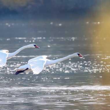 Envol de cygnes sur la Saône par patrick69220