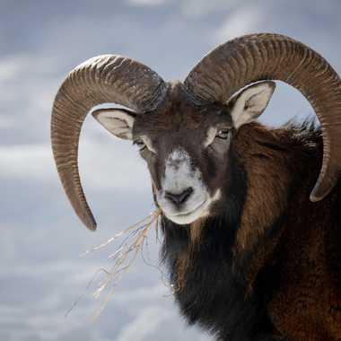 Mouflon par Guy07