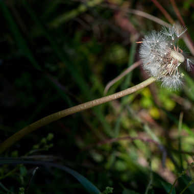 taraxacum par photosud