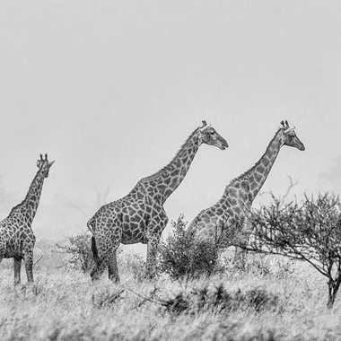 Famille de Girafes dans le bush par patrick69220