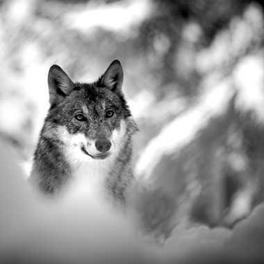 Wolf par Guy07
