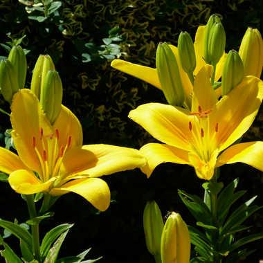 Fleurs Jaunes par Buissem