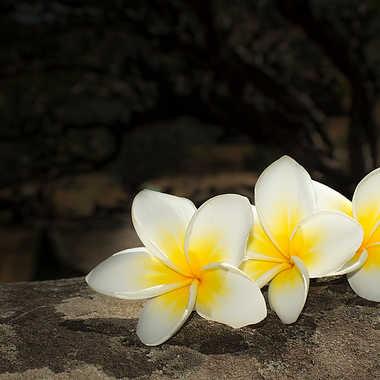 Fleurs de Frangipanier par patrick69220