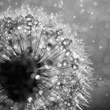 Pissenlit sous la pluie par Jeremy_7517