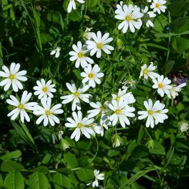 fleurs blanches par brj01