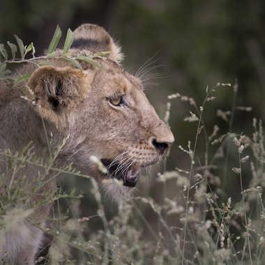 Tout jeune lion par patrick69220