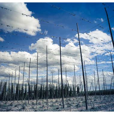 Le champ de houblon par Sham