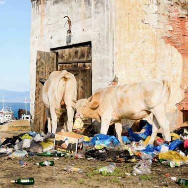 Une vie de vache par Colybri