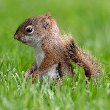 Jeune écureuil par guybou1