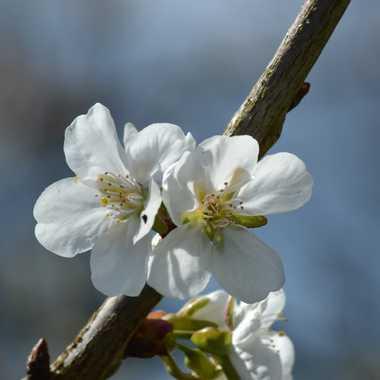 Fleurs de cerisier par Solasi76