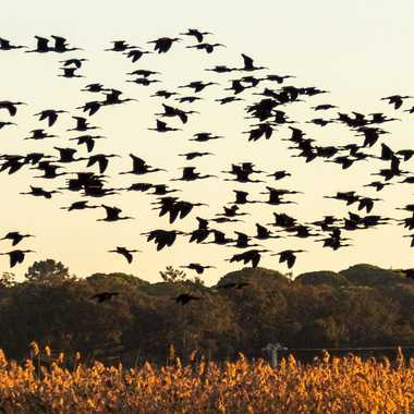 Vol de l'ibis par LSAFERN