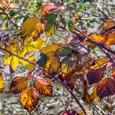 Feuilles de ronce en automne par ChrisO7