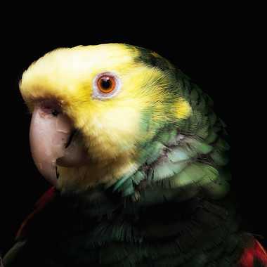 Portrait de perroquet par patrick69220