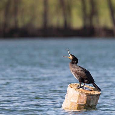 Le cormoran du lac des Sablons. par patrick69220