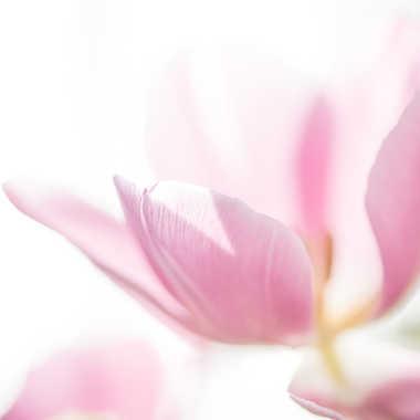 Rose douceur par Fantine