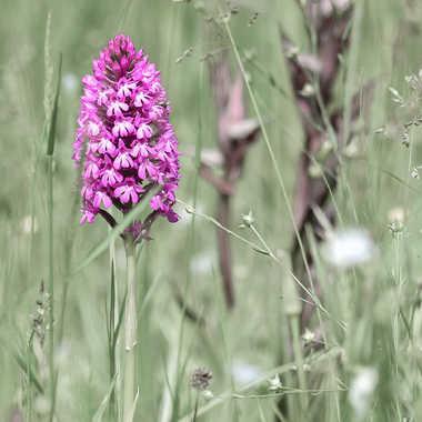 Orchidée Pyramidale par Buissem