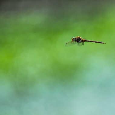 Vol de libellule par Dav.sv
