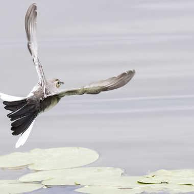 Jeune bergeronnette en vol par patrick69220