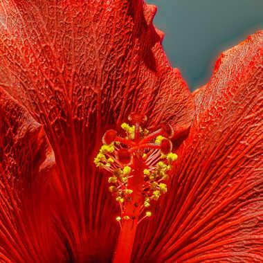 Hibiscus par Jerome Rabille