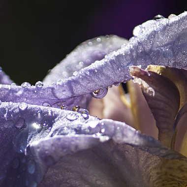 Iris au jardin par patrick69220