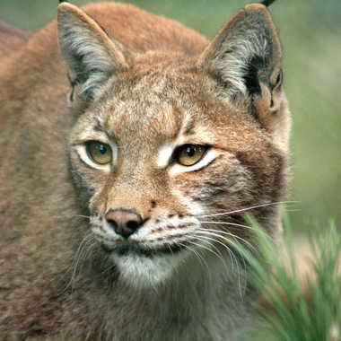 Lynx pour Lynx par Oeildeprimate