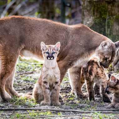 Famille cougar par dvandenabelle