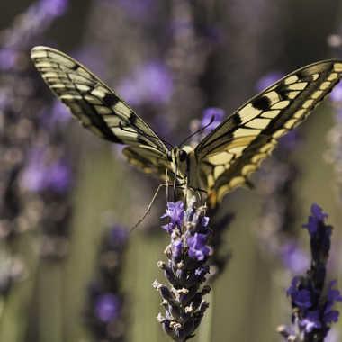 papillon par dslider01