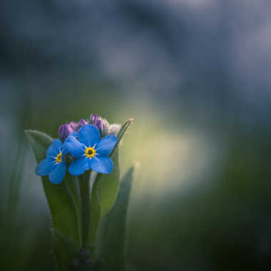 Myosotis alpestris par Anonymous