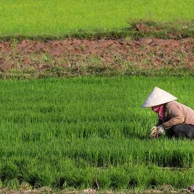 Culture du riz par patrick69220