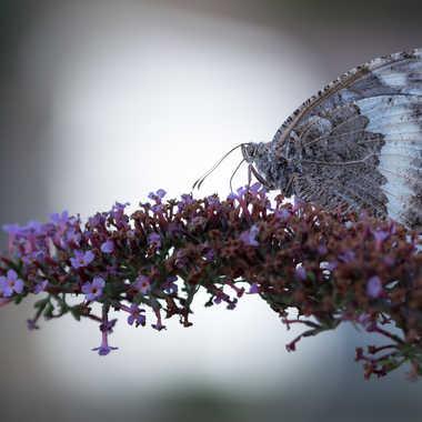 Papillonner par Dav.sv