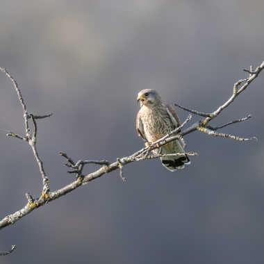 Faucon crécerelle mâle par patrick69220