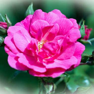 Au nom de la rose par Nath Frank
