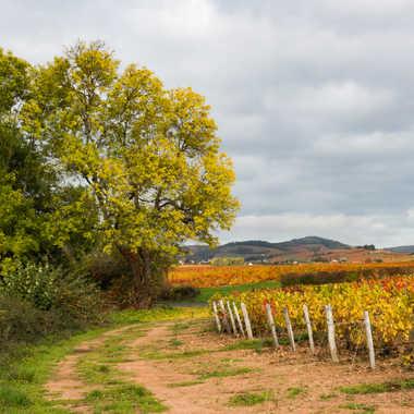 Les vignes de Fleurie par patrick69220