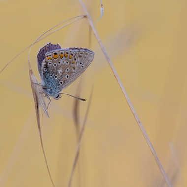 Argus bleu par HeleneA