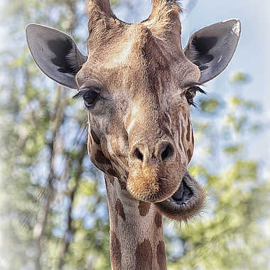 La girafe est bien un ruminant ! par patrick69220