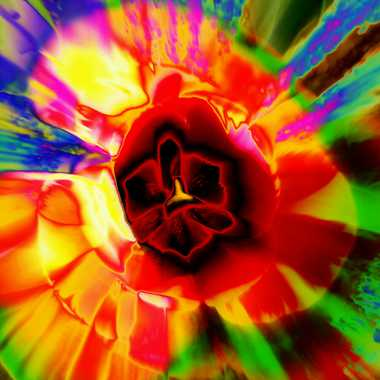 zooming tulipe  par brj01