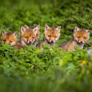 Les renardeaux . par jacquo