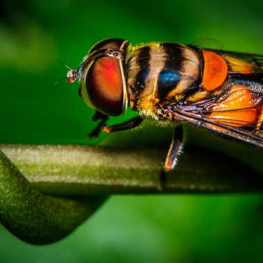 Mouche abeille par sebus