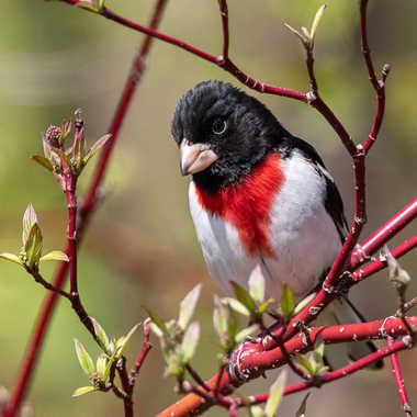 Cardinal Poitrine Rose par guybou1