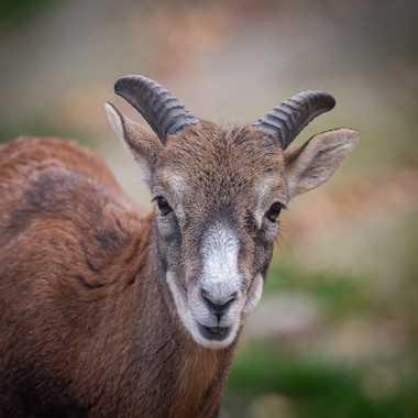 Jeune mouflon par Guy07