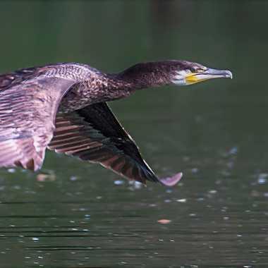 Grand cormoran en vol par patrick69220