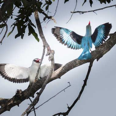 Vie de couple chez les martins chasseurs du Sénégal par patrick69220