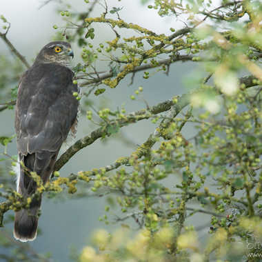 Epervier d'europe - Accipiter nisus - Eurasian Sparrowhawk par solivier