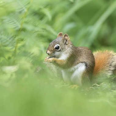 Écureuil roux d'Amérique par nortaillon
